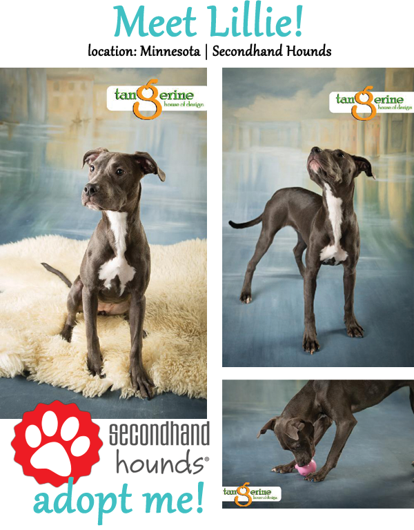 Lillie - adoptable dog of the week - 1 yr old blue pit bull mix! www.lolathepitty.com