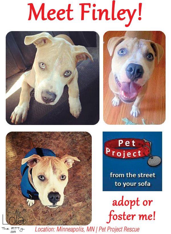 Finley - Adoptable Dog of the Week! Located in MN - @lolathepitty