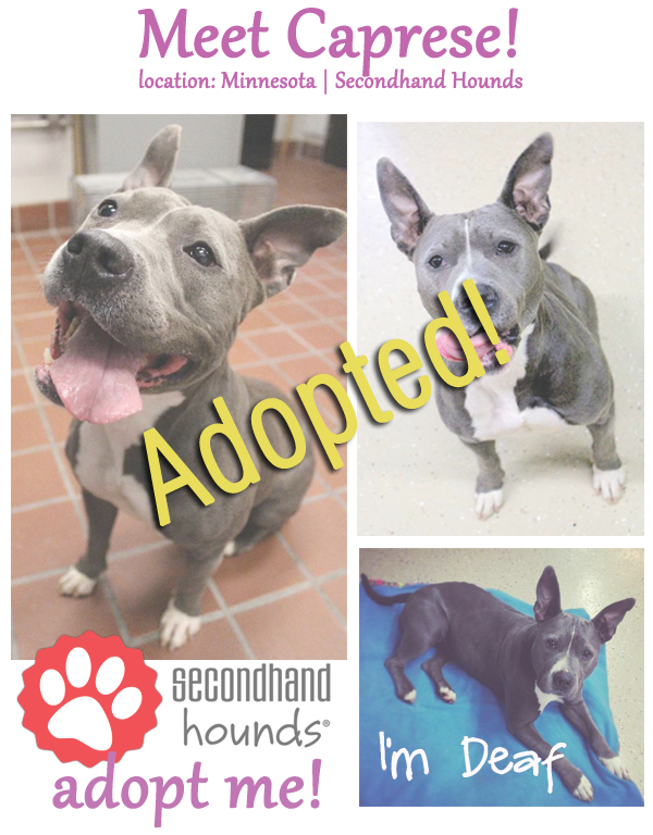 Caprese - adoptable dog of the week - adopted!