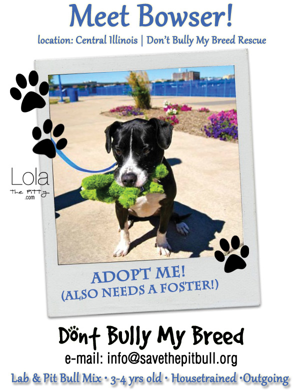 Bowser - Adoptable Dog of the Week | LolaThePitty.com