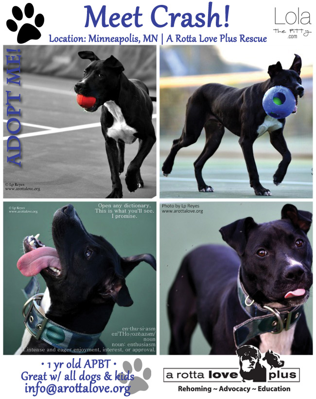 Crash - Adoptable Dog of the Week - Located in Minneapolis, Mn @lolathepitty