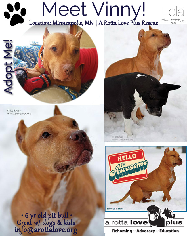 Vinny - Adoptable dog of the week in Minneapolis! Great with kids and other dogs! @lolathepitty