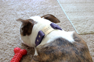 lolathepitty dogIDs collar