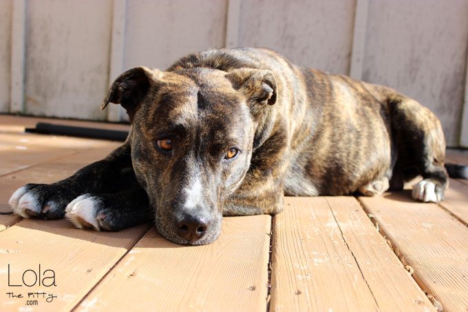 An eventful week continued - on pregnancy, heartworms & fostering | @lolathepitty