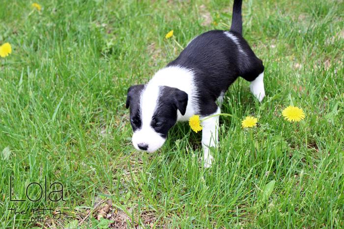 Cuteness overload: Emma's 4 week old puppies | @lolathepitty