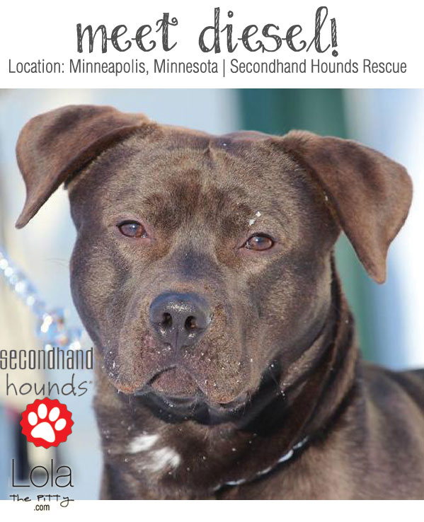 Diesel: Adoptable dog of the week from lolathepitty.com!