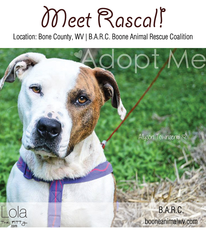 Rascal: Adoptable Dog of the Week on Lolathepitty.com! Located in West Virginia!