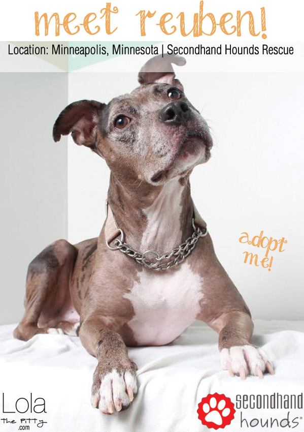 Meet Reuben! The adoptable dog of the week on lolathepitty.com. Reuben is a Catahoula Leopard/Pit Bull mix living in MN!