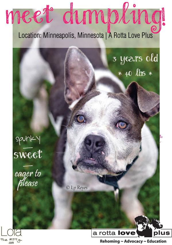 Meet Dumpling! An adorable Bulldog x Pit Bull for adoption in Minneapolis! www.lolathepitty.com